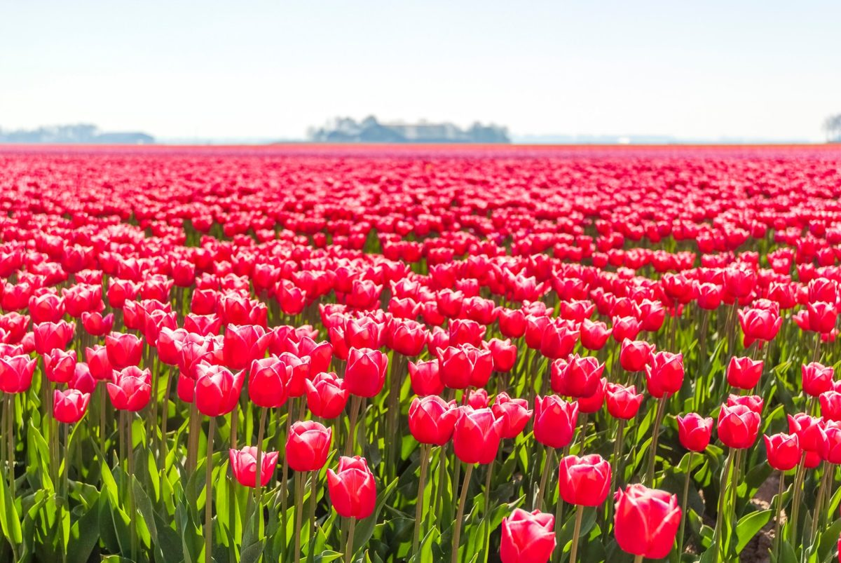 roze tulpen lente in Nederland